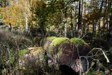 Kinigssee_Wald04