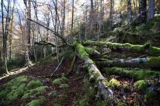 Kinigssee_Wald10